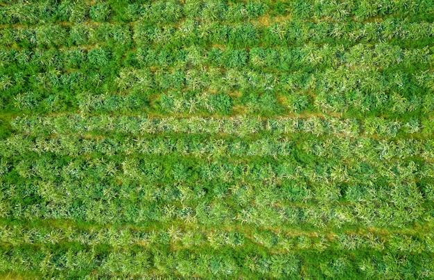 真上にあるアーティチョークフィールドの上面図、自然なパターン