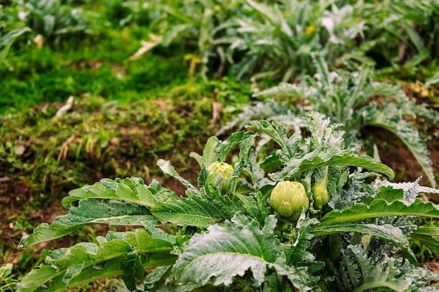 농장의 농장에서 자라는 아티 초크 식물
