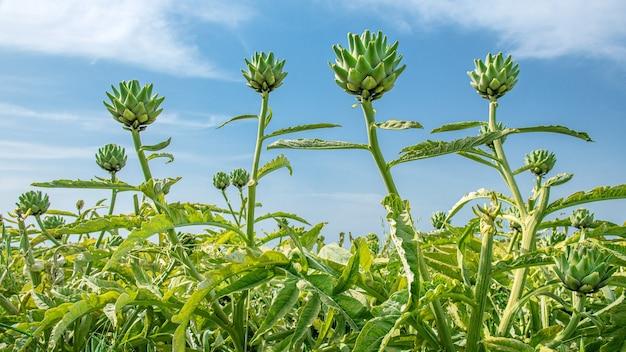 들판의 아티초크 식물, 광각 샷