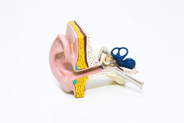白の人工人間の耳モデル。プラスチック製のカラフルな耳のモデル。医学のテーマや科学の授業。