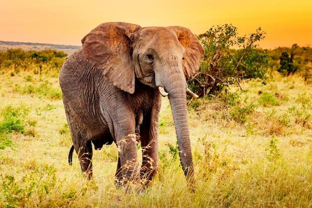芸術的な幻想的なアフリカの夕日の風景。アンボセリ国立公園のアフリカゾウ。ケニア、日没時のアフリカ。