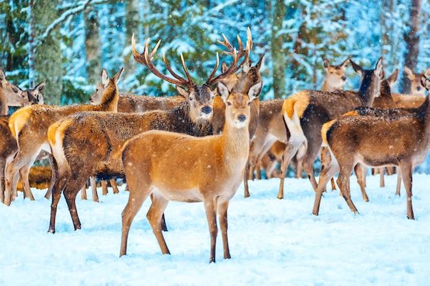 芸術的な冬のクリスマスの自然の画像。高貴な鹿cervuselaphusと冬の野生動物の風景。冬にはたくさんの鹿がいます。