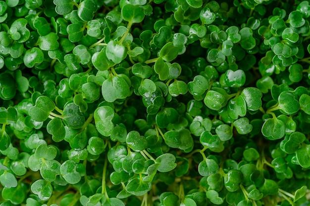 Arugula 마이크로 녹색 배경입니다. 평면도.