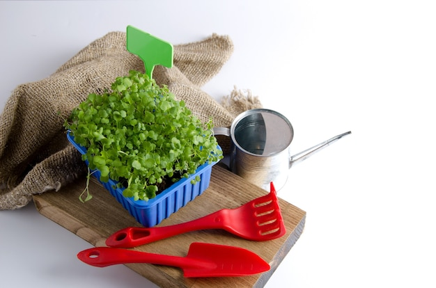 Arugula microgreen in a plastic container on a white background