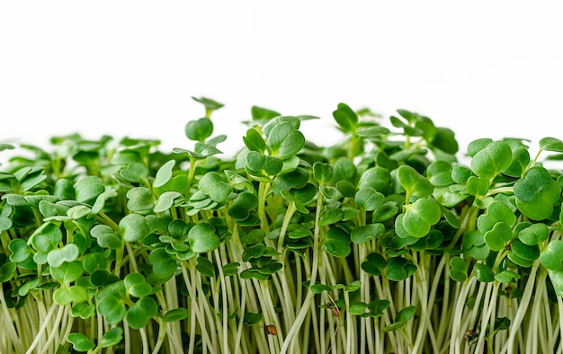 Arugula microgreen sprouts isolated on white wall. close up, copy space