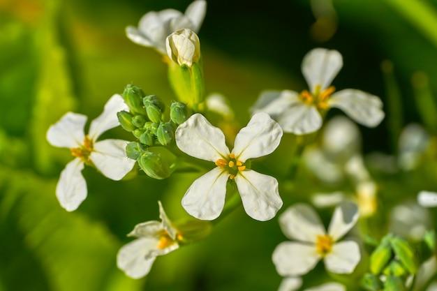 Arugula rucula white flowers detail