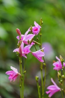 Цветок орхидеи arundina graminifolia крупным планом в природе красивые белые орхидеи в ботаническом саду