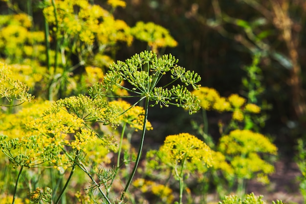 Asafetida植物の側面図