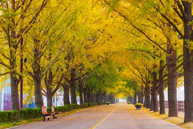 Осень на asan gingko tree road в сеуле, южная корея.