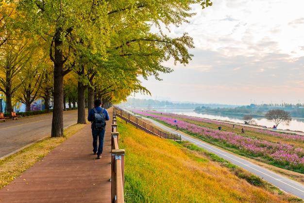 Осень на asan gingko tree road в сеуле, южная корея.