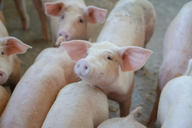 家畜の地元のasean養豚場で健康そうに見える豚のグループ。