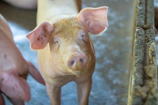 家畜の地元のasean養豚場で健康的に見える豚のグループ。