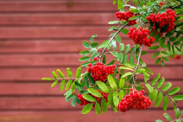 Ветви рябины с ягодами, изолированными на красном