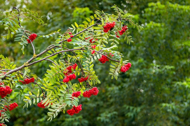 Ветви рябины с изолированными ягодами
