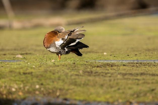 羽を毛づくろいする頭の短いガチョウ