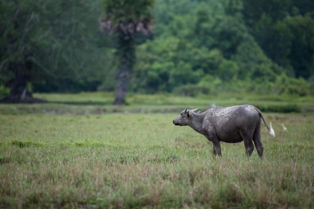 Asia buffalo in farm