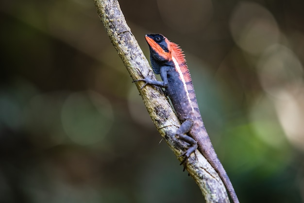 The asia chameleon on the tree