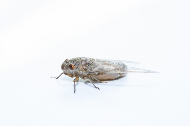 Asia cicada insect isolated on white background