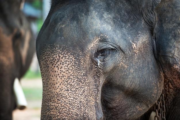 Asia elephant crying