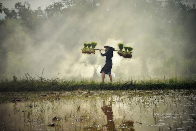 Asia woman farmer holding rice plant on shoulder walking in rice field