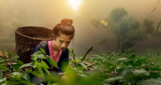 Азиатские работницы-фермеры собирали чайные листья для традиций на рассвете