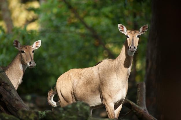 Asian antelope, nilgai or boselaphus tragocamelus