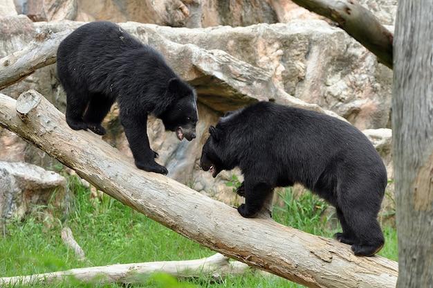 Азиатские черные медведи выглядят как американские черные медведи