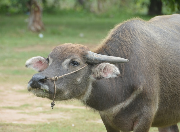 Asian black water buffalo at the grass field