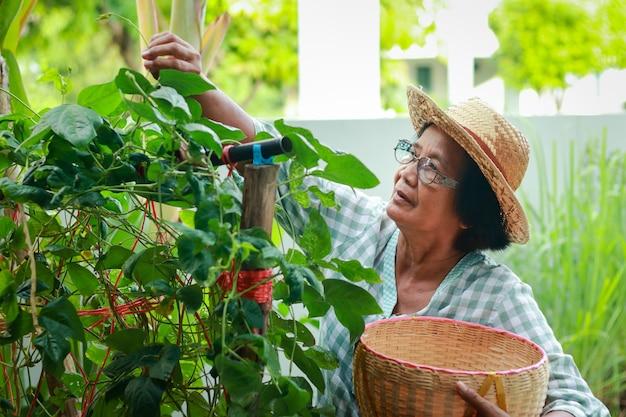 아시아 할머니 집에서 먹을 유기농 야채를 재배하세요. 그녀는 음식을 만들기 위해 바구니에 야채를 넣고 있습니다. 코로나바이러스 전염병, 노인 정원 가꾸기 중 식품 보안 개념