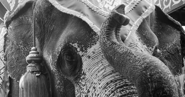 Asian elephant in black and white