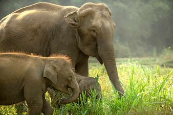 Asian elephant family with cute baby walking through the meadow.