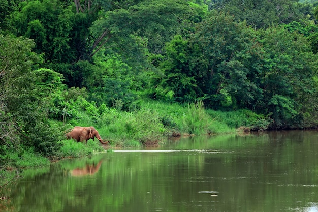 Asian elephant in forest of northern thailand