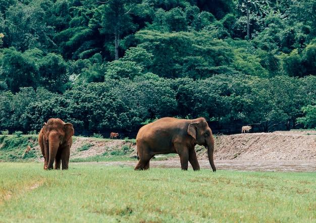 Азиатский слон в природе в глубоком лесу в таиланде