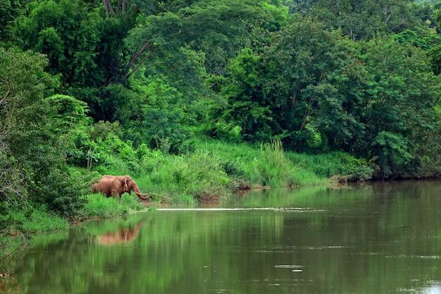 タイ北部の森のアジアゾウ