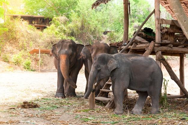 タイ北部、チェンマイ近くの保護された自然公園にいるアジアゾウ