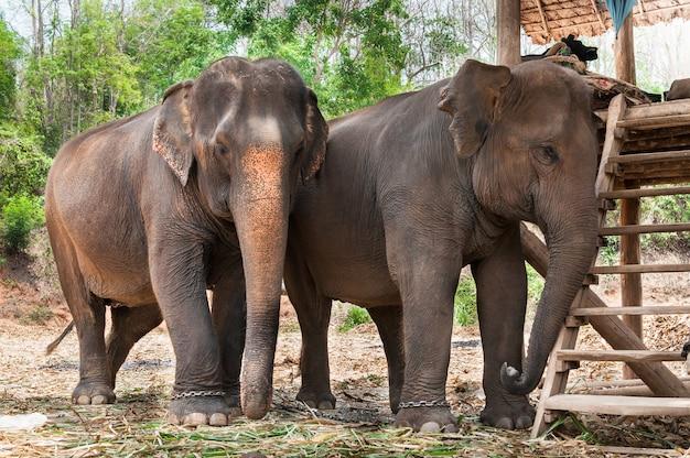 タイのアジアゾウ
