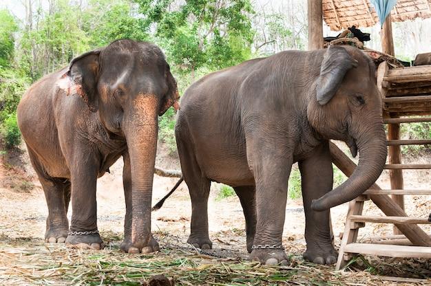 태국의 아시아 코끼리