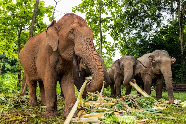 Азиатский слон наслаждается едой в природном парке, таиланд
