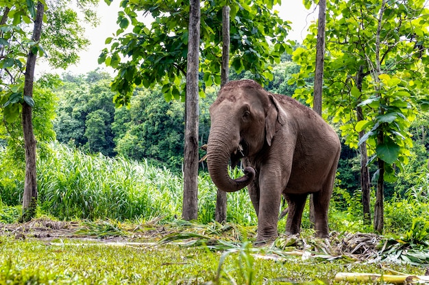 Asian elephant is enjoying eating food in nature park, thailand