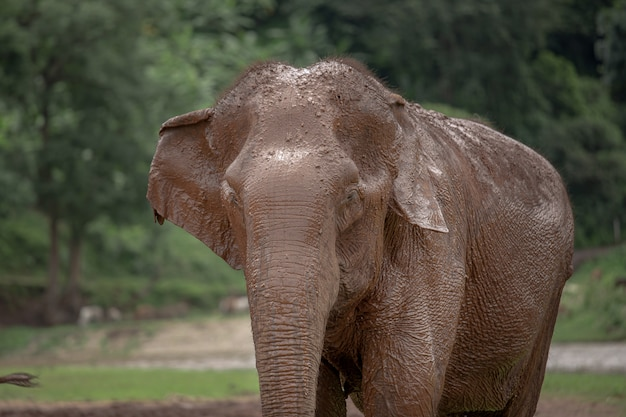 Asian elephant in a nature at elephant nature park, chiang mai. thailand.