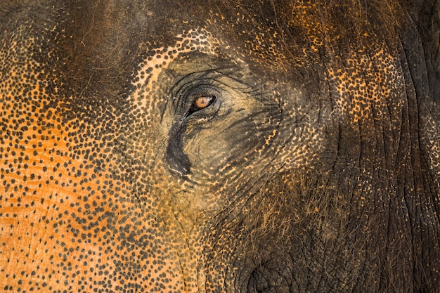 Asian elephant's eye and skin texture.