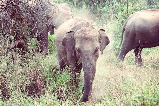 Asian elephant in sri lanka