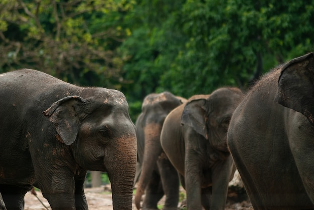 Asian elephants playing together