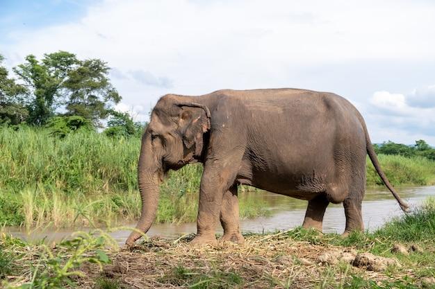 タイ、チェンマイ、ピン川に立つアジアゾウ