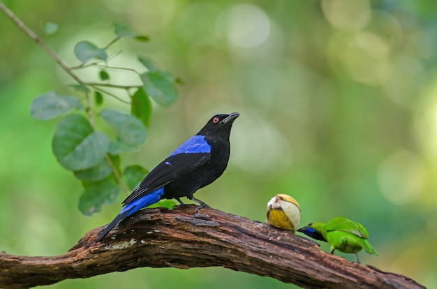 Asian fairy-bluebird (irena puella) resting on a branch in forest, thailand