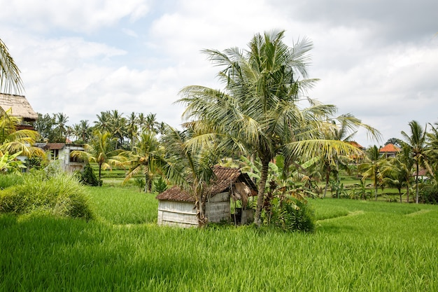 Asian farm. house with rice fields and palm jungle