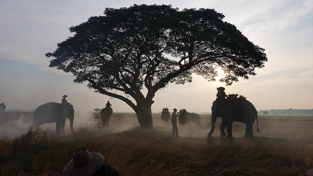 アジアの農家は田んぼで収穫され、象の農家は日の出の空を背景に稲作をしています