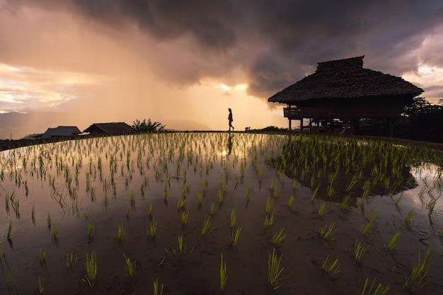 水田で育つ前に背中に米の苗を運ぶアジアの農家