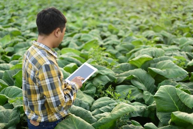 Asian farmer researching plant in tobacco farm