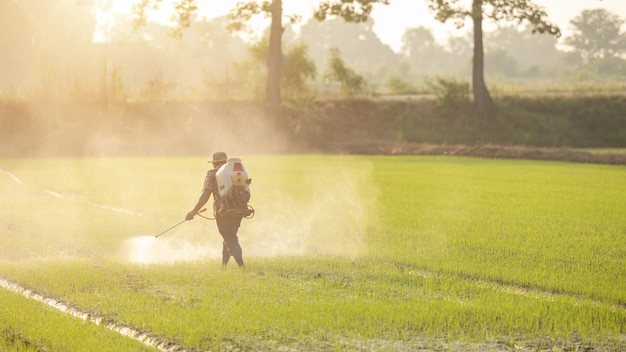 Asian farmer spraying fertilizer to young green rice field